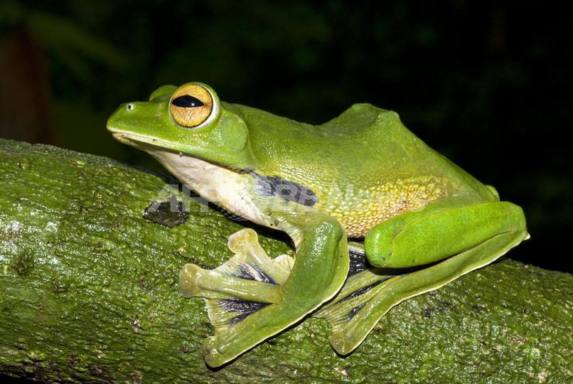 新種「空飛ぶカエル」、ベトナムで発見