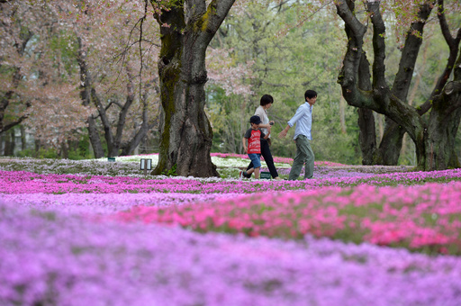 桜の次は芝桜、GWまでシーズン 群馬