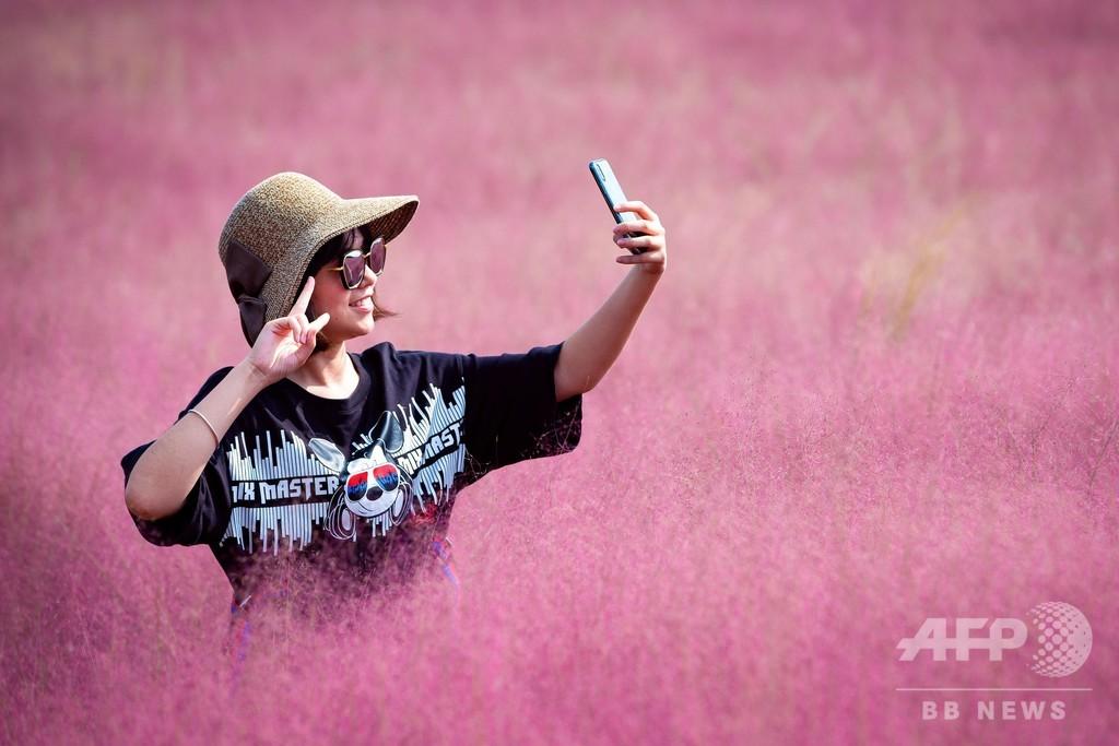 ピンクに染まる田園、ミューリーグラスが見ごろ 中国・江蘇省