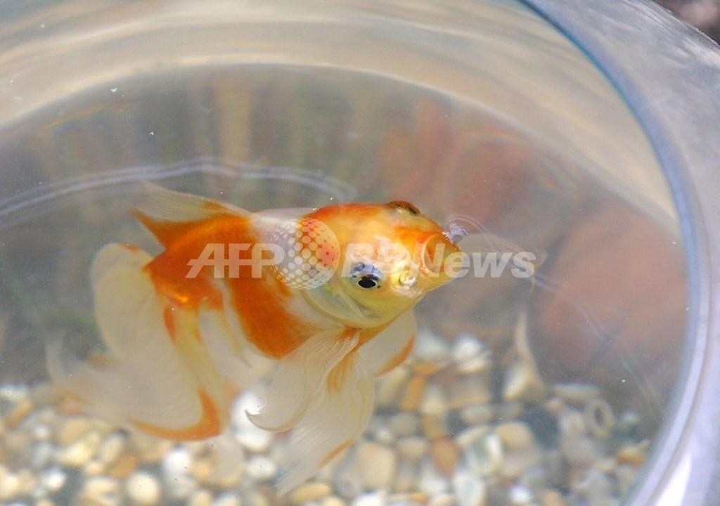 金魚に尊厳死、ブタにシャワー ―― スイスで厳格な動物保護法が発効
