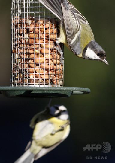 英国の野鳥のくちばし、庭の餌付けで適応進化か 研究