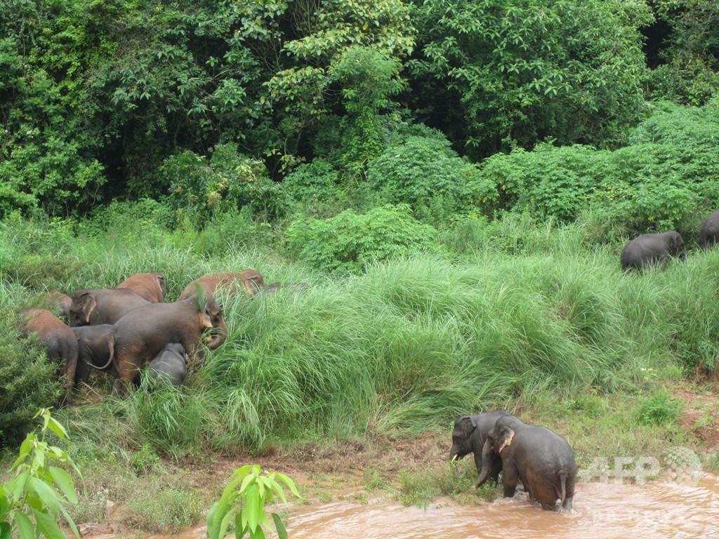 野生のゾウに襲われ死亡 雲南、山で茶摘み中