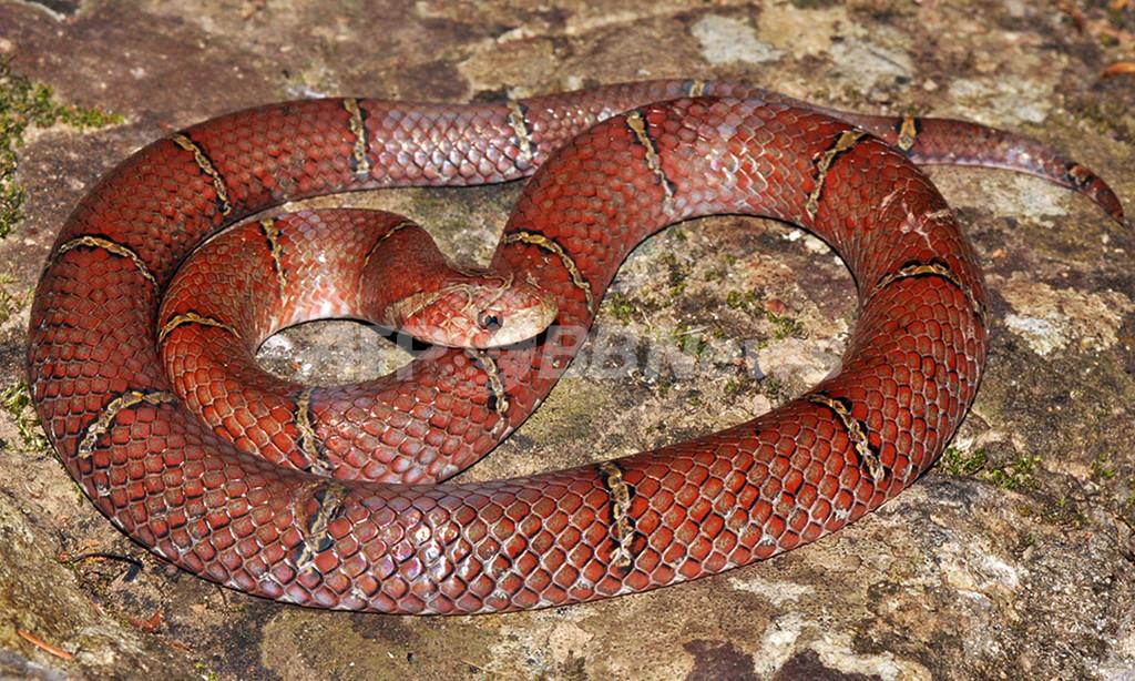 カンボジア密林で新種のヘビ、深紅色のうろこに白黒の輪