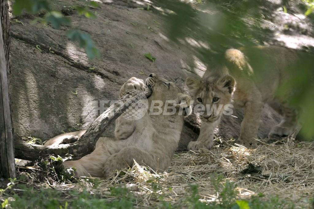 動物園で肉食獣の餌に、ヘルシンキの野生ウサギ対策