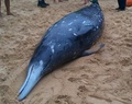 くちばし持つ希少クジラ、豪海岸に漂着