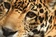 エルサルバドル最後の雄のジャガー、骨感染症で手術