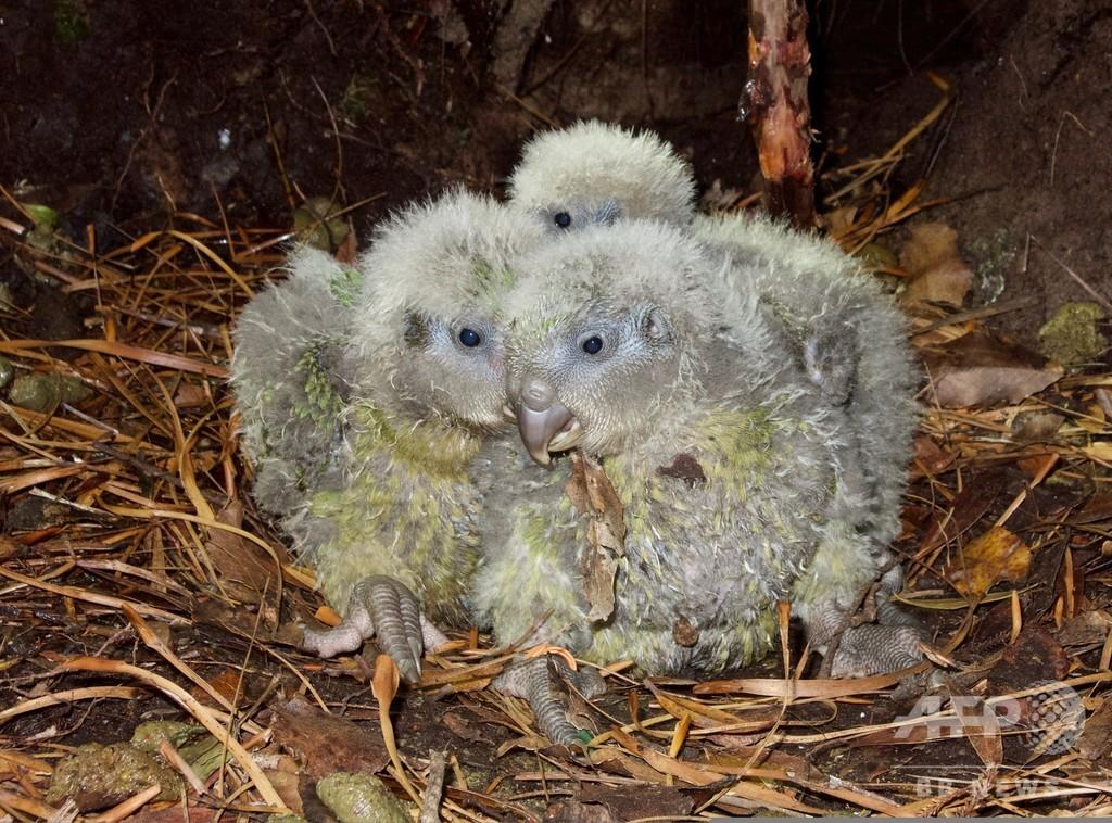 希少な「飛べないオウム」カカポに記録的な繁殖期、NZ