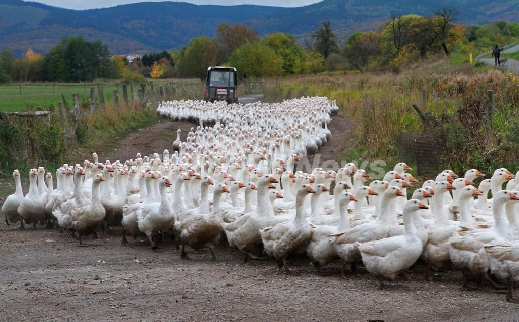 羊さながらに家路につくガチョウの群れ、ドイツ