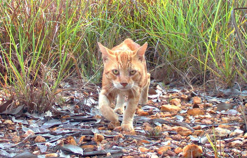 豪政府、野良猫200万匹の殺処分を計画 仏女優らが非難