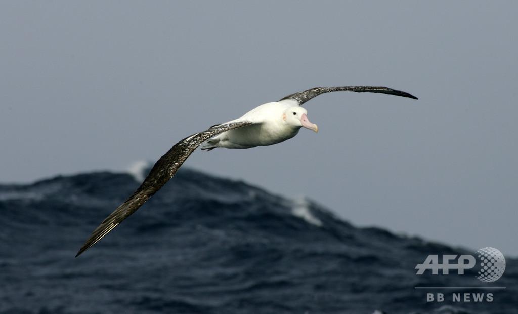 監視役はアホウドリ、インド洋での保全プロジェクトが密漁船対策の一助に