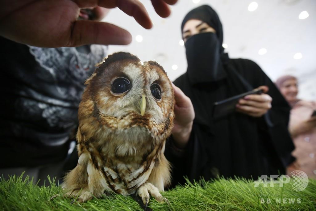うるうるな黒い瞳がたまらない! 中東クウェートのモリフクロウ