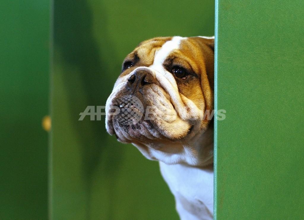 血統書付きの犬、繁殖方法に変更必要 英調査