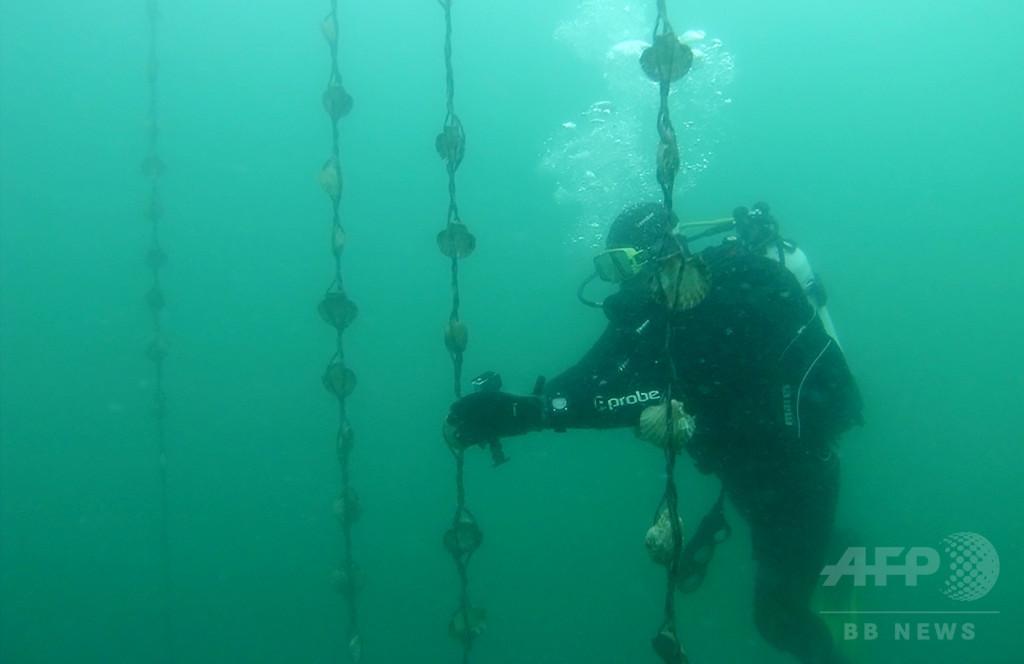 オーストラリアの貝礁、事実上すべて消滅 海洋生態系に大危機