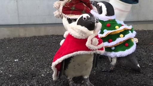 動画:ペンギンたちがサンタ姿に 八景島シーパラダイスでクリスマスイベント
