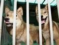 韓国・ソウル大、クローンオオカミの繁殖実験に意欲