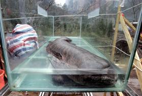 巨大オオサンショウウオ似の新種両生類、化石発見