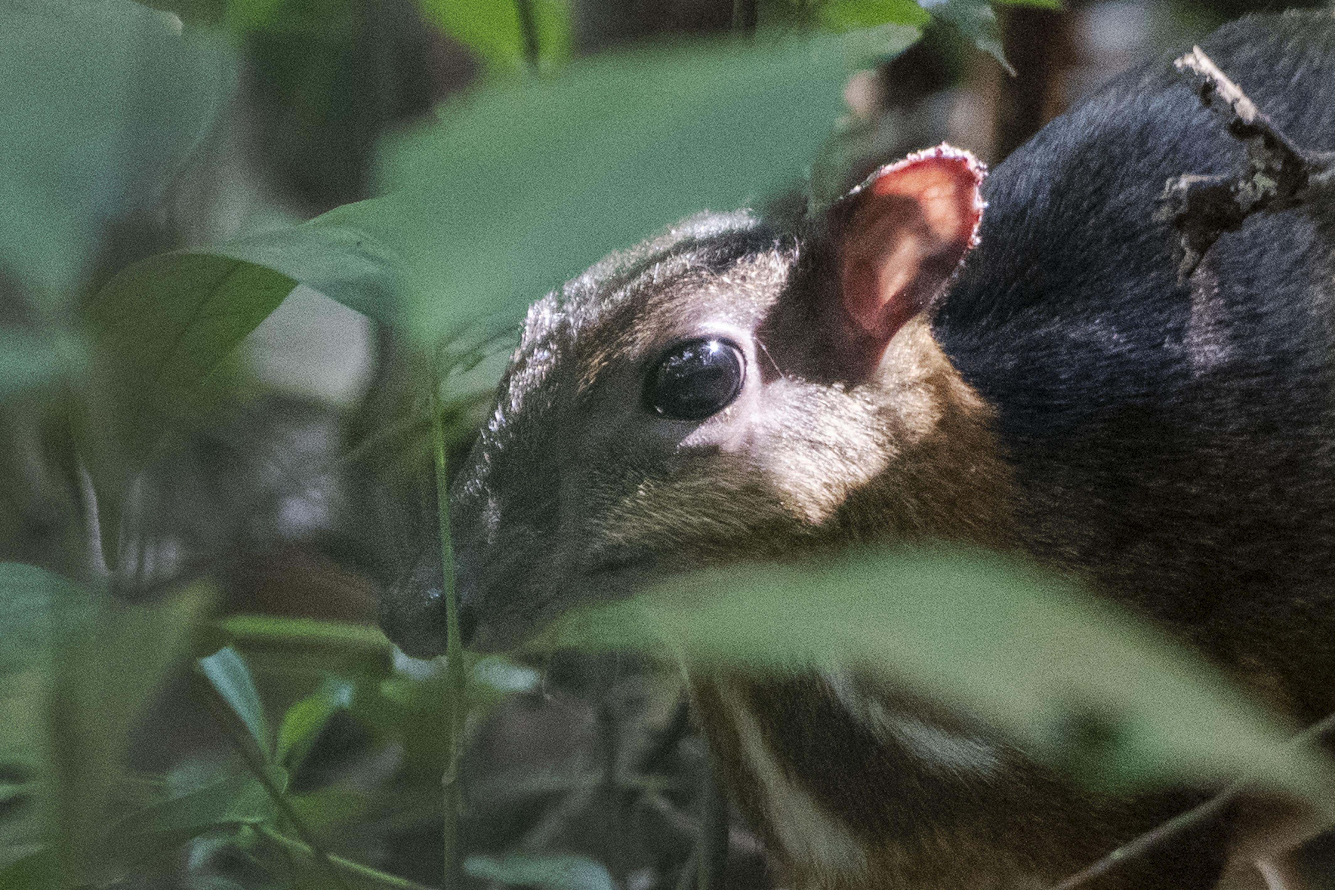 シンガポールの森林に希少動物のマメジカ現る