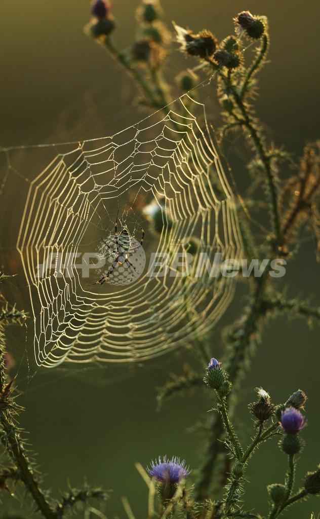 クモの巣の強さの秘密、2つの糸の絡み方にあり MIT研究
