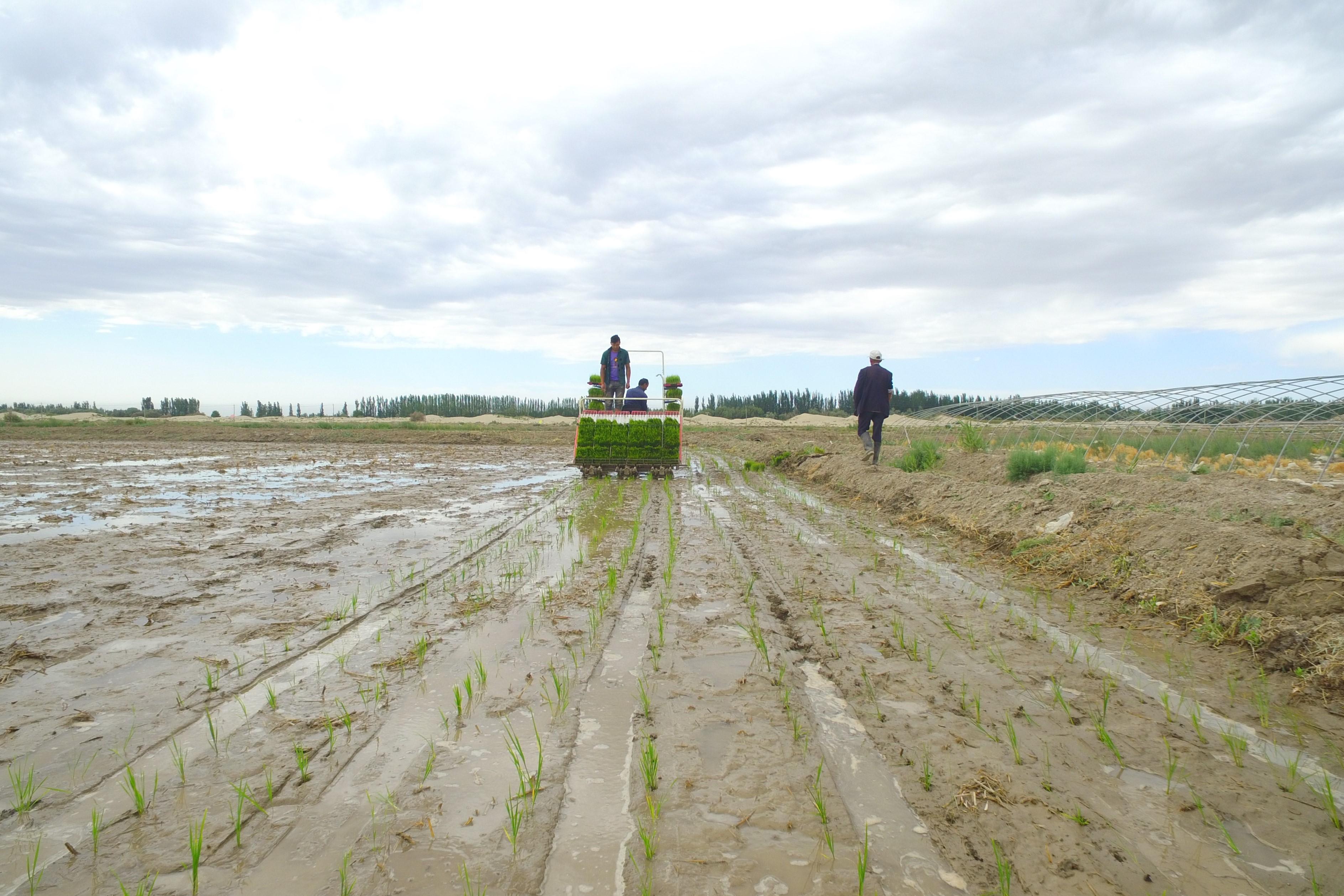 タクラマカン砂漠の西縁で「海水稲」の試験栽培始まる 土壤改善に期待