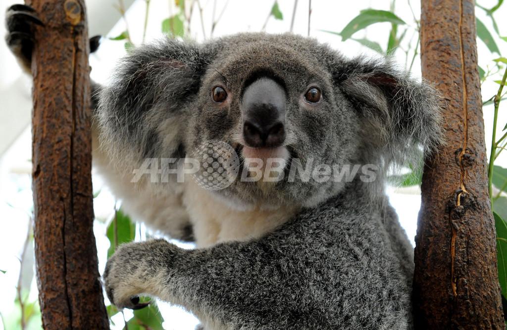 コアラ激減、「危急種」指定を政府に要請 オーストラリア