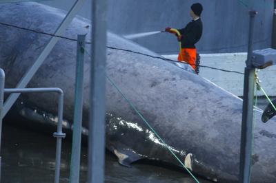 アイスランドで捕獲・解体のクジラ、遺伝子解析で交雑種と判明