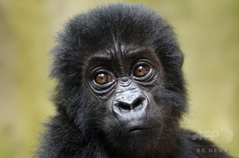 野生ゴリラが「壊滅的減少」 紛争状態続くコンゴ 研究