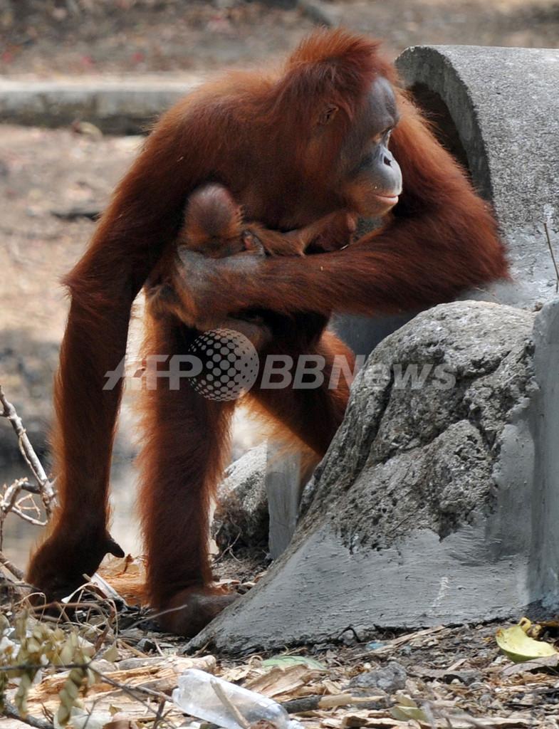 たばこを吸うオランウータンが出産、インドネシア