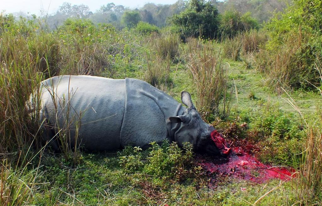ケニアの2013年サイ密猟数、前年の2倍に