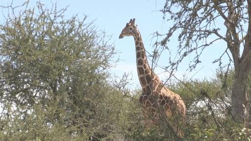 動画:キリンに忍び寄る「静かな絶滅」の脅威