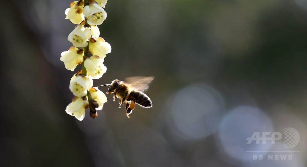 殺虫剤でハチが依存症に?農薬入りの餌好む傾向を確認、英研究