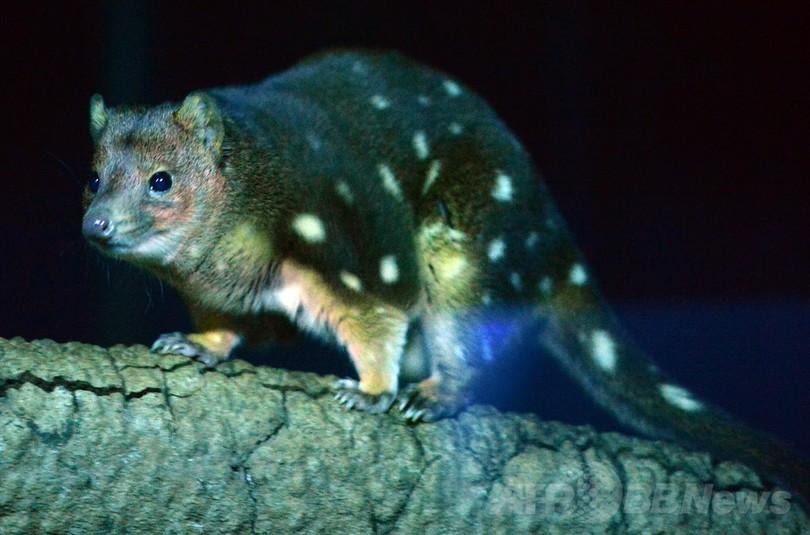 オーストラリアで小型有袋類が激減、野生化したネコが原因か