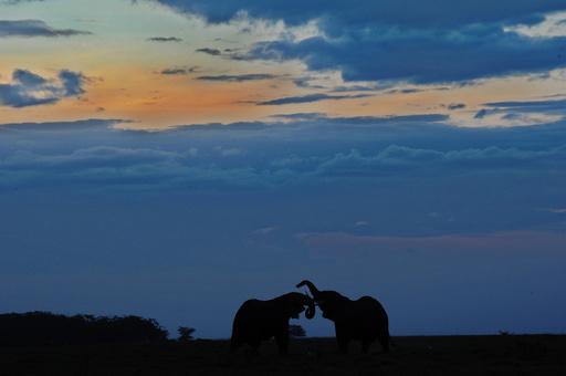 アフリカ大陸のゾウ個体数、今後10年以内に20%減少の可能性