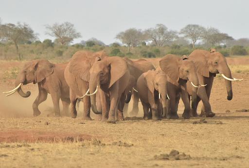 アフリカゾウの密猟8年で半減、絶滅の危機は変わらず 研究