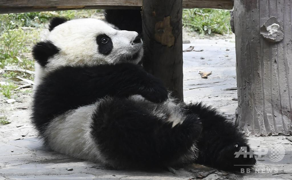 幼いパンダ、縄に絡まって窒息死 中国・四川省の保護センター