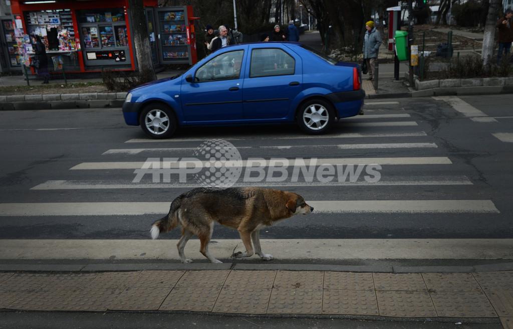 「横断歩道を渡る野良犬」、交通安全のお手本に