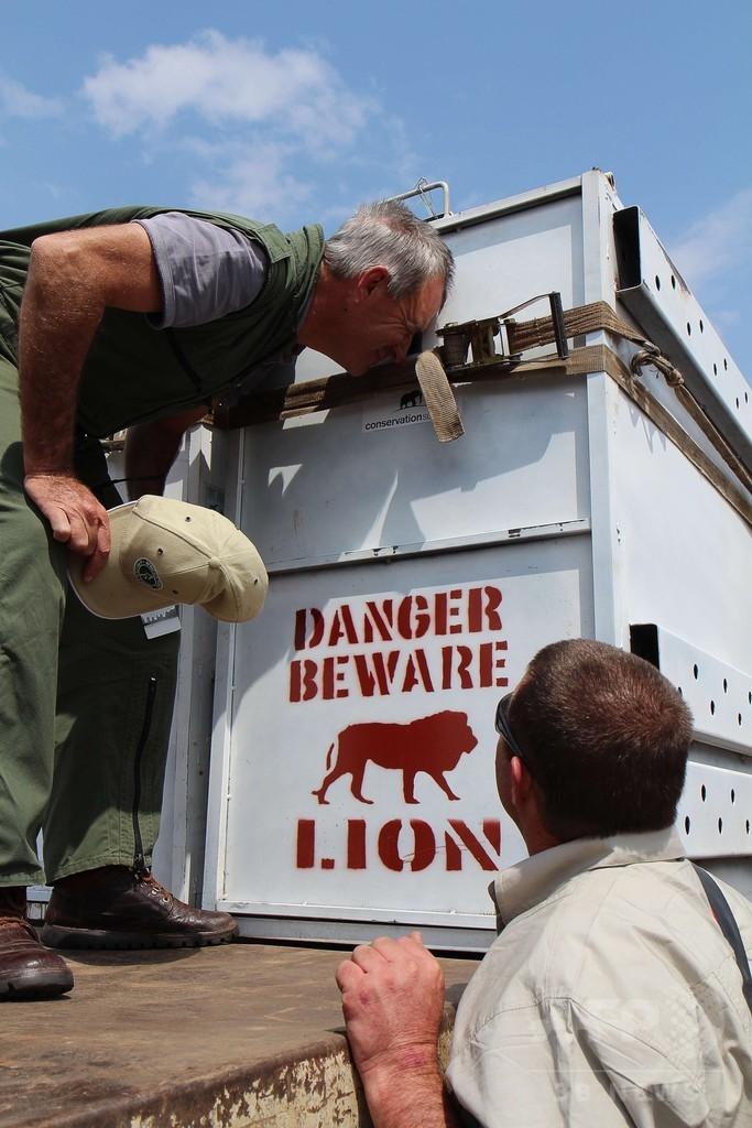 ルワンダにライオン再導入、南アフリカから7頭