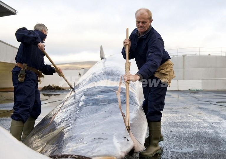 日本などに鯨肉1500トンの輸出を検討、アイスランドの捕鯨会社