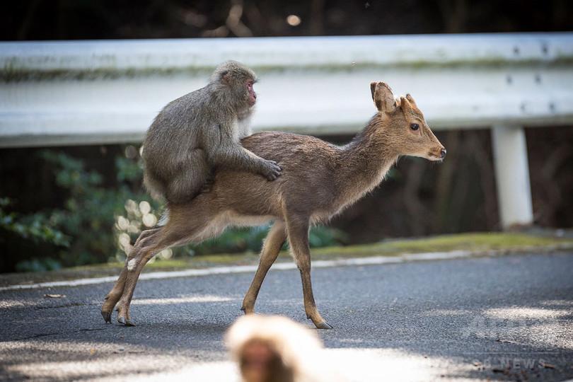 シカと交尾試みるサル、屋久島で「極めて珍しい」事例を確認