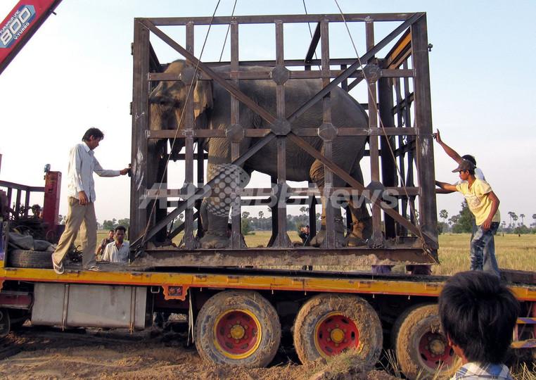 カンボジアの「殺人ゾウ」、新天地へ
