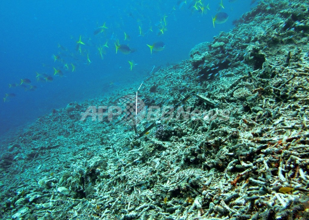 フィリピンの有名サンゴ礁でオニヒトデ発生