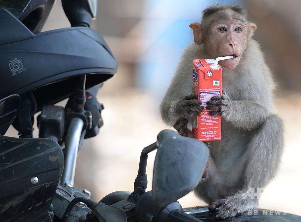 「ふう、暑い。一休み…」 涼をとるサルたち インド