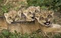 ライオンの三つ子です、どうぞよろしく イスラエル