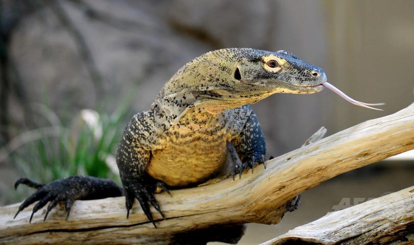 最大と最小サイズの動物、絶滅危険性が最高に 脅威の一つは人間 研究