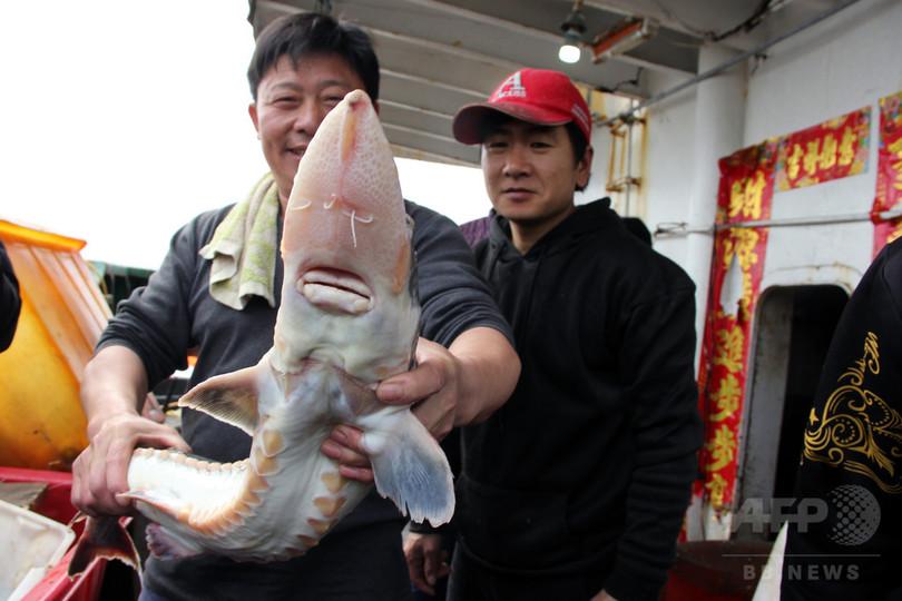 漁民が「怪魚」を捕獲、カラチョウザメの幼魚と判明 浙江省