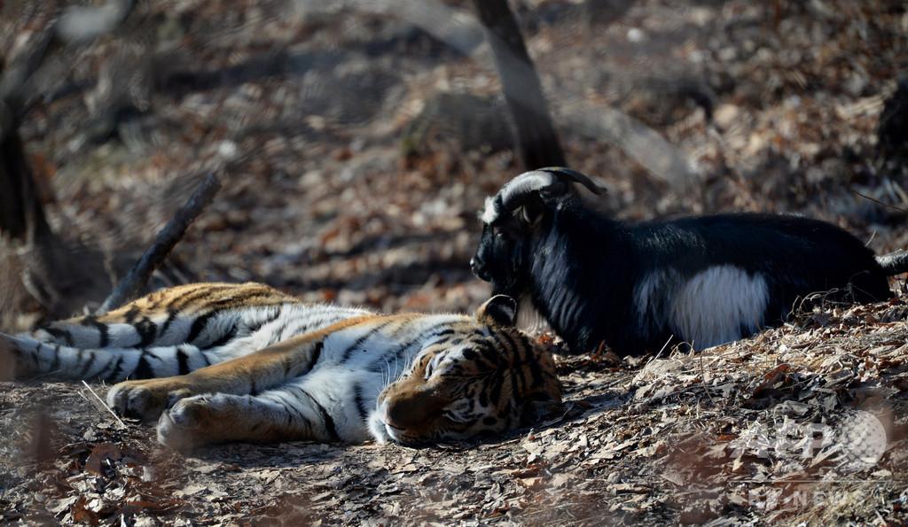 トラと友情育んだヤギ死ぬ 仲たがいで体調悪化 ロシア