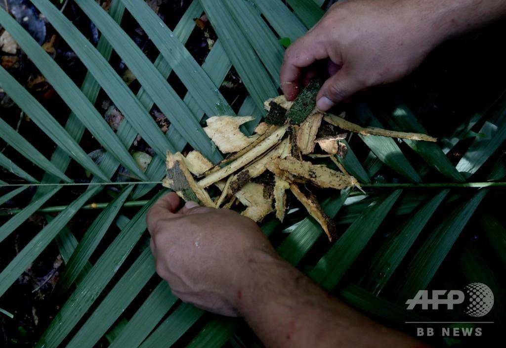 ブラジル・アマゾン先住民族、伝統の薬用植物でコロナと闘う