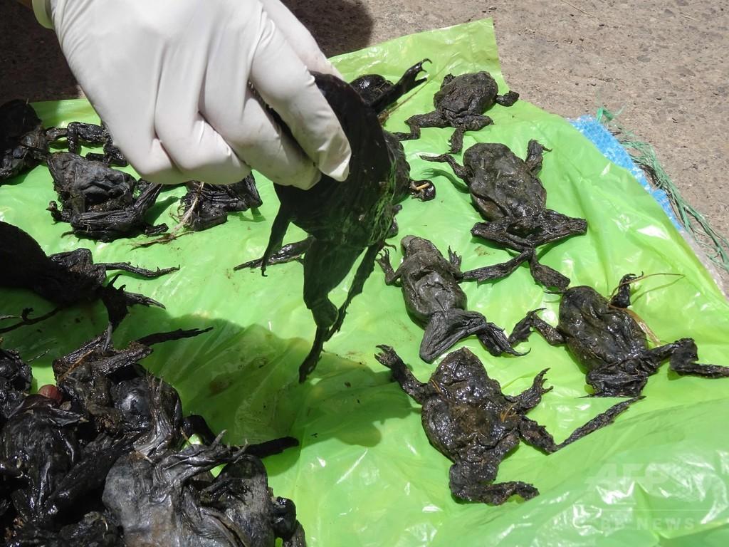 絶滅危惧種のカエル1万匹、ペルーの川で大量死