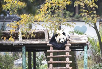"""雲南野生動物園のパンダ、""""食欲の冬""""を満喫"""