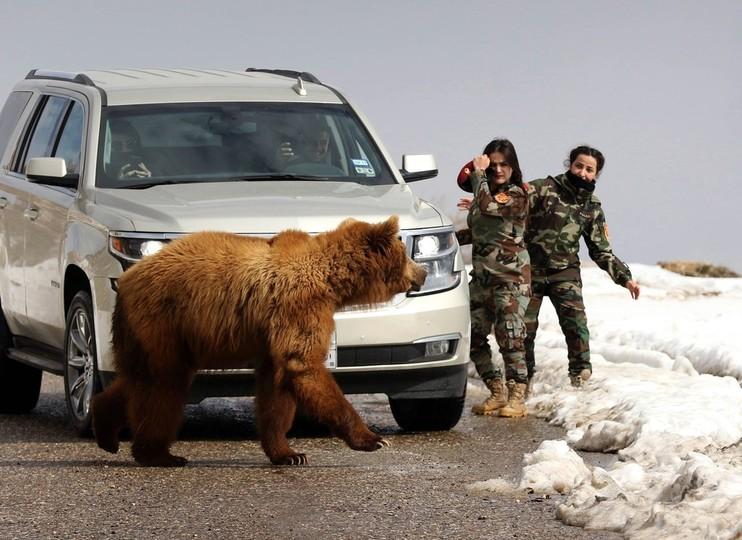 捕らわれの身だったクマ、野生に放たれる イラク・クルド人自治区