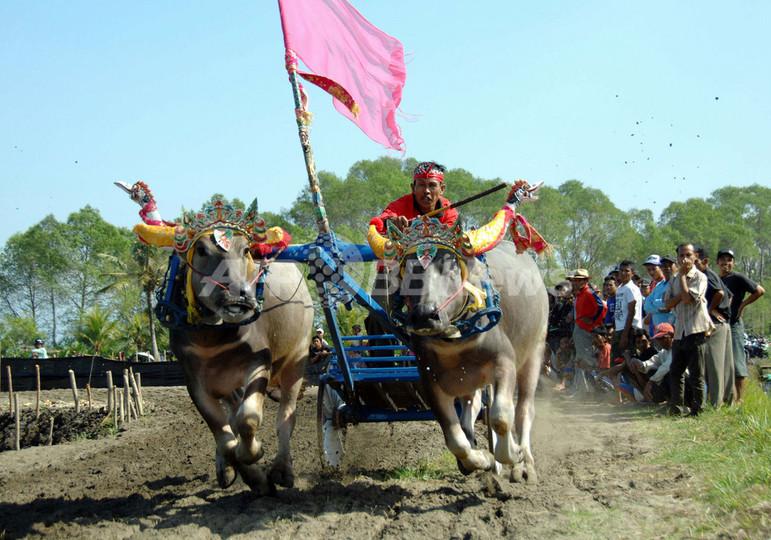 水牛が疾走、バリ島の伝統レース「ムカプン」